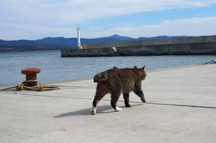大泊港の漁港を悠々と歩く猫