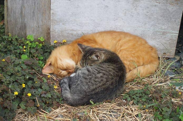 田代島 寝る猫
