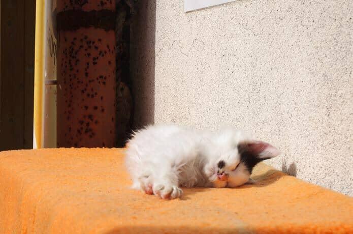 田代島 島の駅で悠々と昼寝している猫