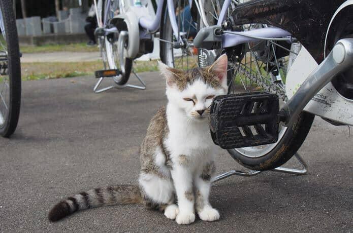 田代島 島の駅の駐輪所にいた猫