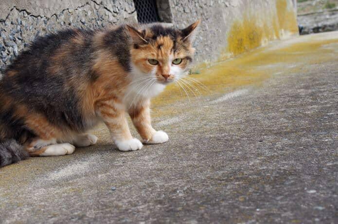 田代島 警戒している猫