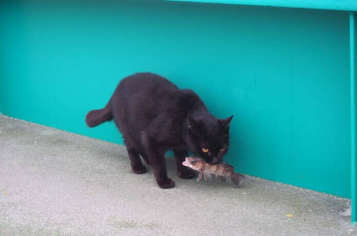 田代島 お魚加えた黒猫