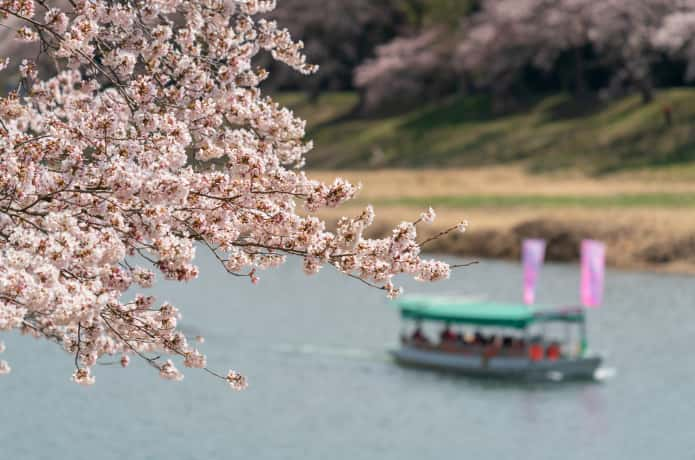 白石川一目千本桜と屋形船