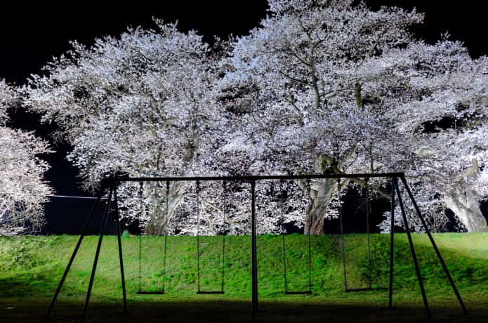 ブランコと夜桜