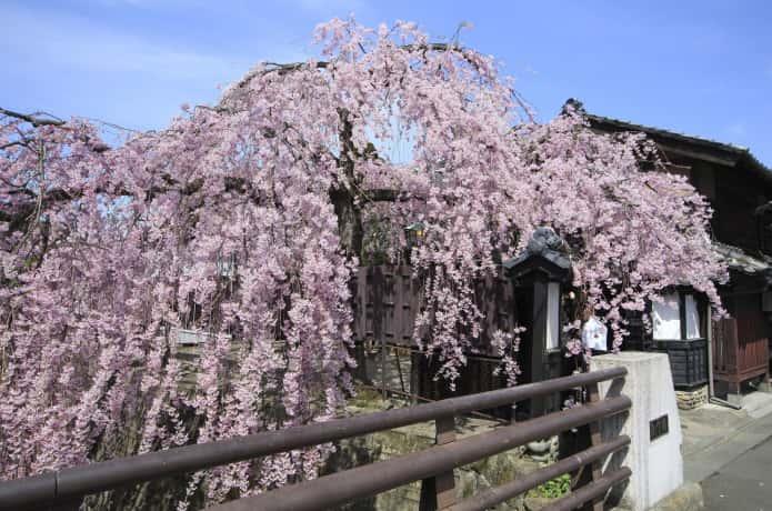 石橋屋 枝垂れ桜