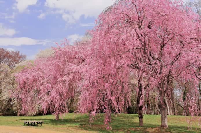 仙台 三峰公園の桜