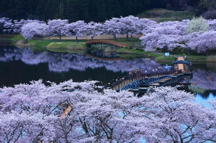 平筒沼ふれあい公園 夜桜