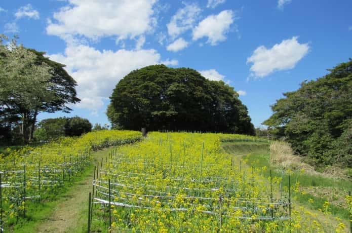 朴島の菜の花畑