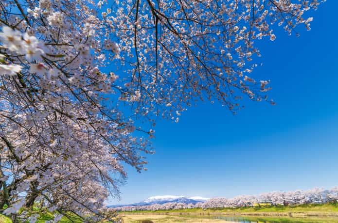 白石川堤一目千本桜と青空