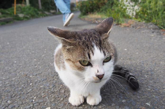 田代島 カメラに近づく猫