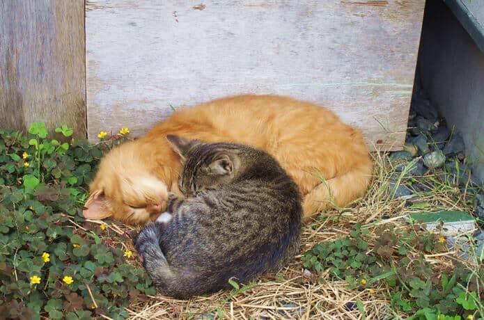 田代島 眠る猫