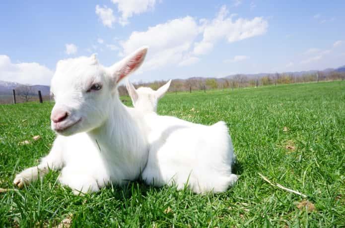 蔵王ハートランドの羊