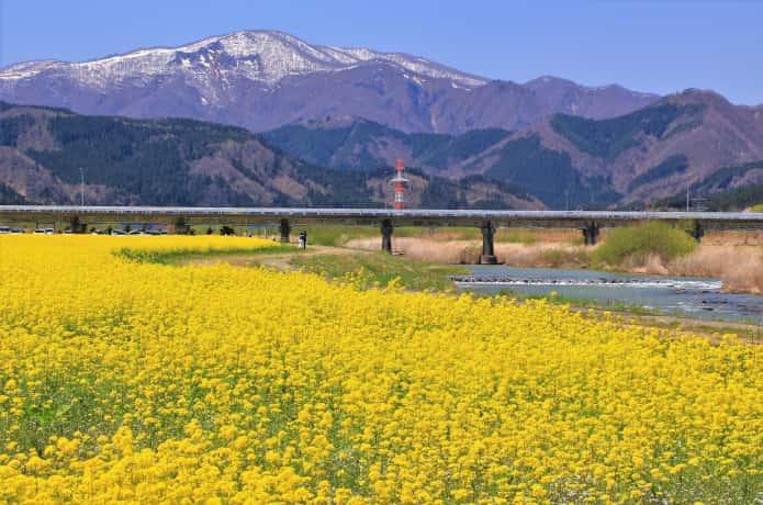 川渡温泉 菜の花