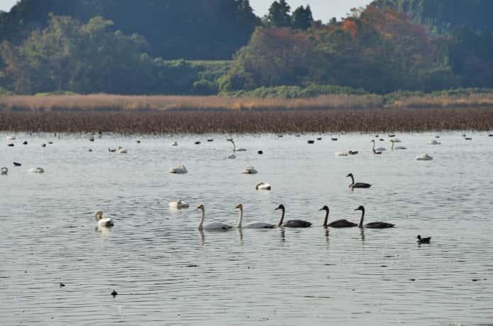 伊豆沼と白鳥