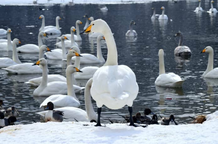 仙台 水の森公園 白鳥