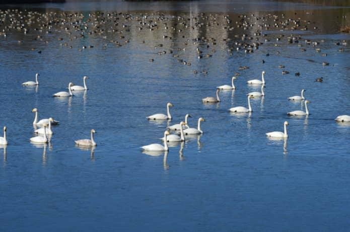 水の森公園 丸田沢堤 白鳥